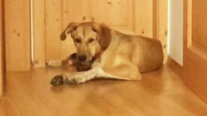 Mischling Filou Berchtesgaden vermisst