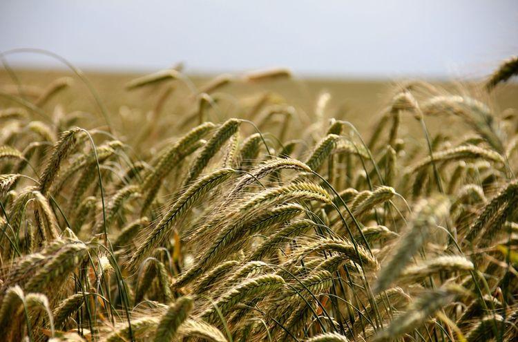 Getreide Feld Natur