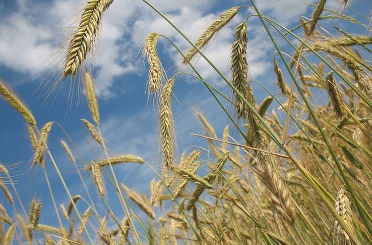 Getreide Symbolfoto