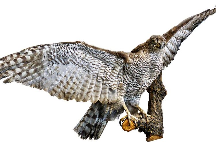 Greifvogel 1