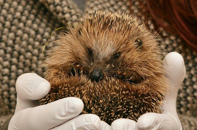 Hedgehog 2074143 960 720