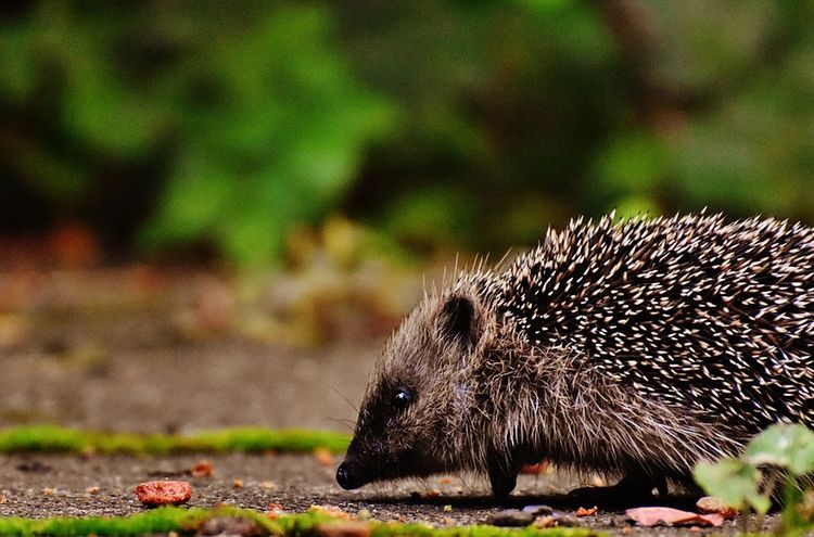 Hedgehog Child 1701537 1280