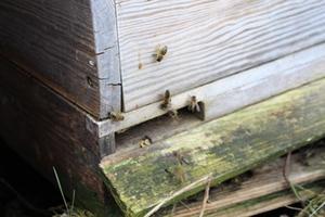 Bienenstock_2