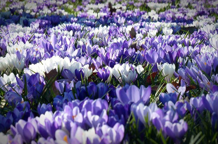 Krokus Fruehling Blumen