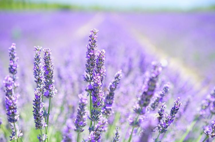 Lavender Blossom 1595581 1280