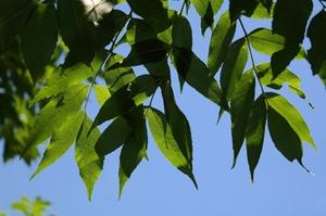 Eschenblätter