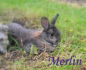Kaninchen Merlin vermisst
