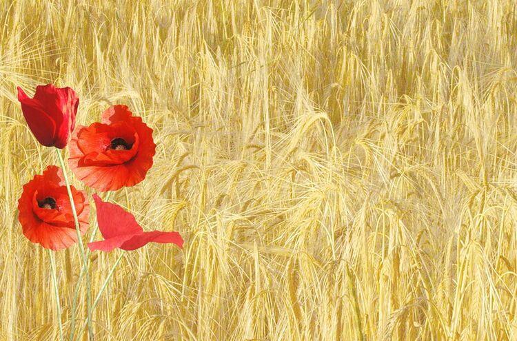 Mohn Klatschmohn Weizen
