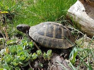 Tiermeldung Schildkröte Bob