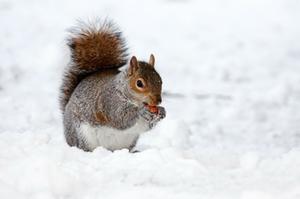 Eichhörnchen Winter Symbolbild