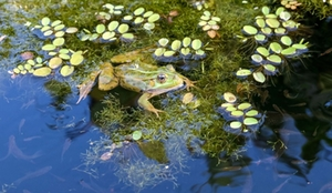 teich-frosch
