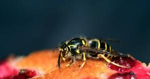 Wespe auf Gebäck